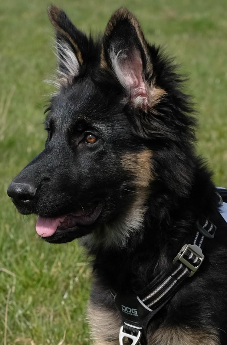 langstockhaar-altdeutscher-schäferhund-